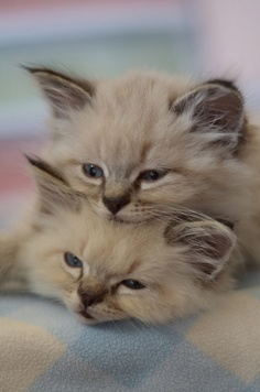 Kittens Playing pictures