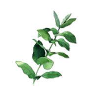 Remède de grand-mère contre la toux grasse: eucalyptus