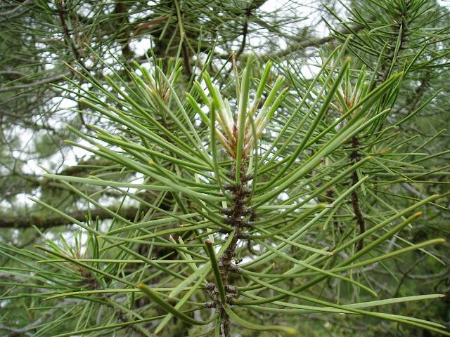 PINO RESINERO: Pinus pinaster