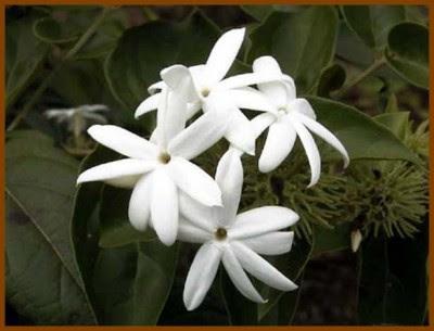 Flor do jasmim