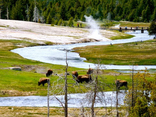 a herd of bison in Yellowstone National Park