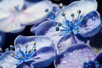 A macro photograph of a Blue Hydrangea
