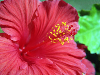 Hibiscus Flower Collections