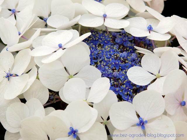 biało - niebieskie hortensje ogrodowe