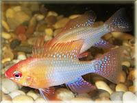 Ram Fish Pictures