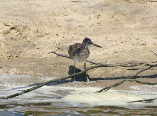 Willet - Jamaica Bay, New York