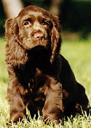 Sussex Spaniel Dog