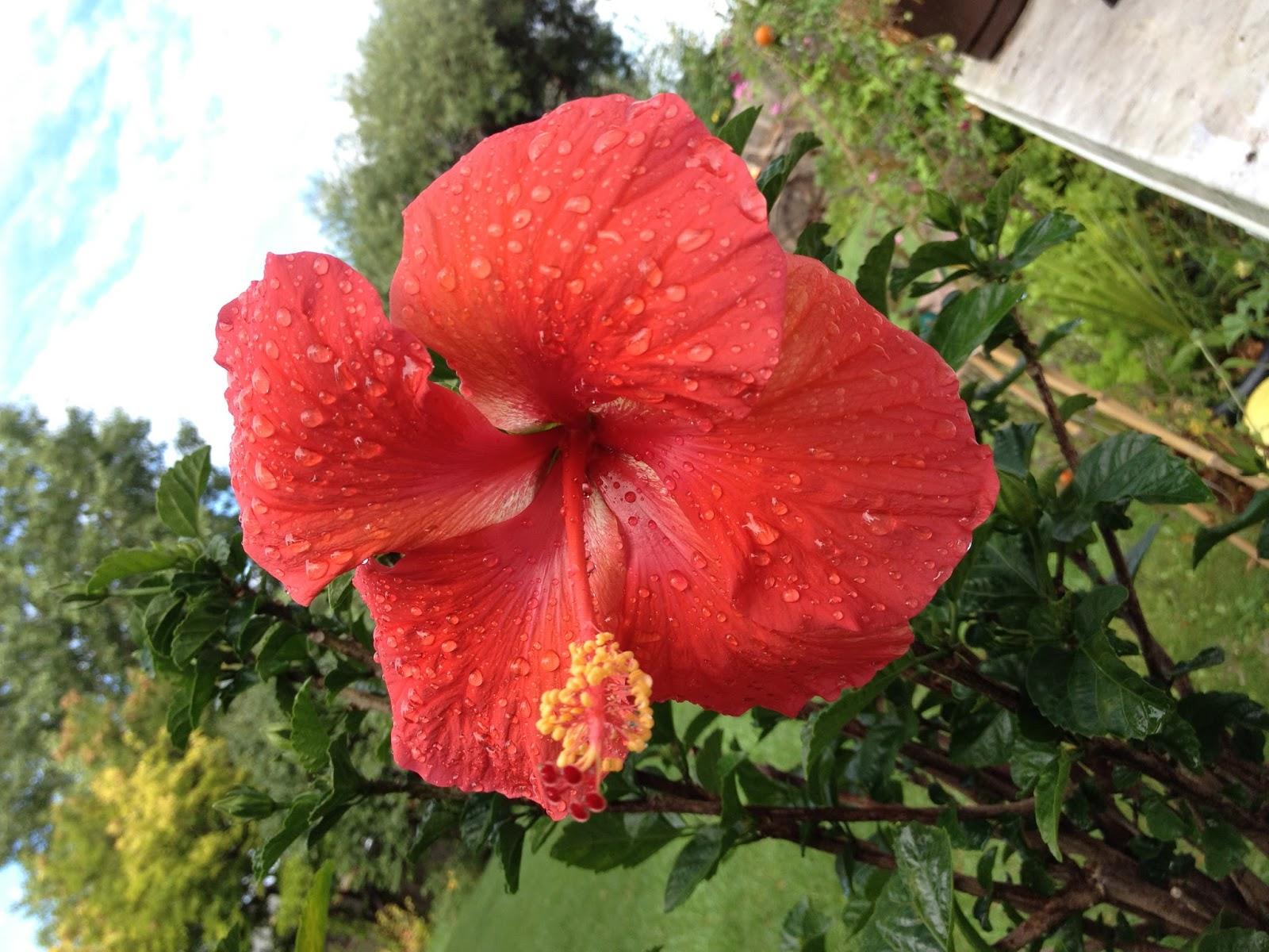 Tammys Craft Emporium Hibiscus After The Rain