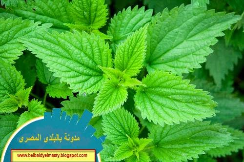 تعرف على نبات القراص واستعمالاته واهميته الطبيه والعلاجيه