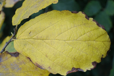 autumn_common_witch_hazel_Hamamelis_virginiana_leaf_by_garden_muses: _a_Toronto_gardening_blog