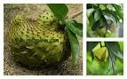 Soursop leaves and fruit.