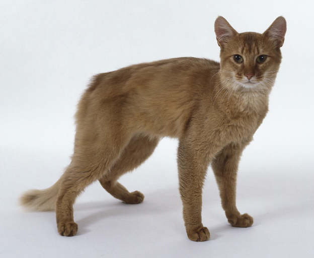 Somali Cat Club of America,