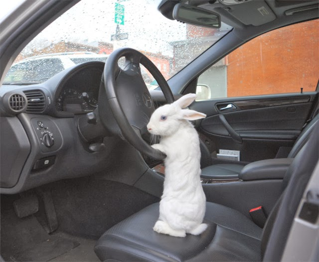 Funny animals of the week - 7 February 2014 (40 pics), rabbit takes the wheel