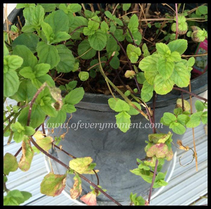 plant pot, mint plant