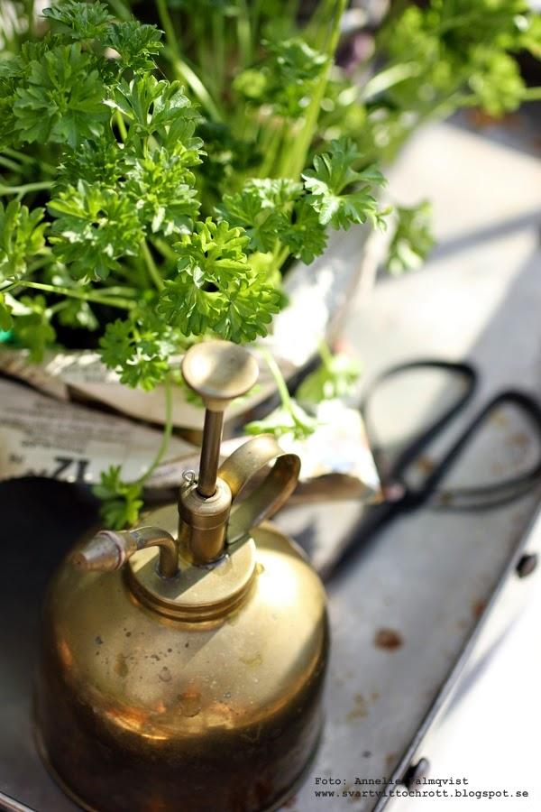 persilja, sax, blomspruta, vattenspruta, i växthuset, växthus, örter, ört,