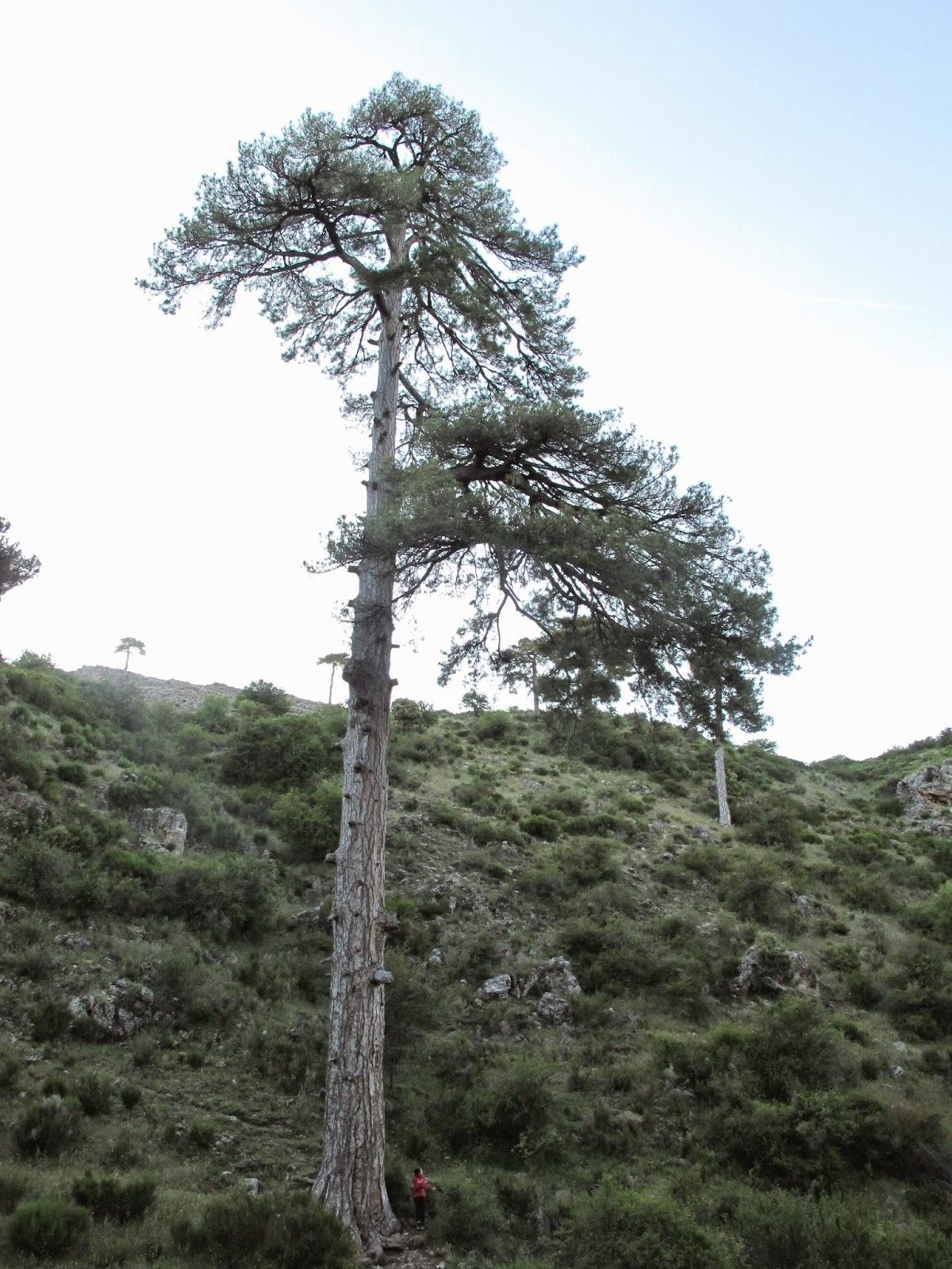Rboles monumentales de murcia y cuenca del segura for Cuanto mide un arbol
