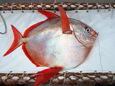 Descoberto o primeiro peixe de sangue quente