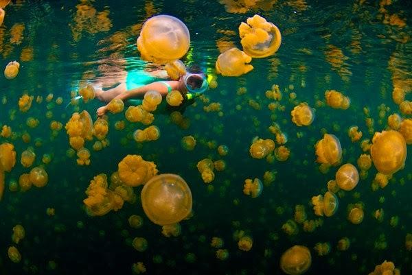 Snorkeling di Antara Ubur Ubur Danau Kakaban