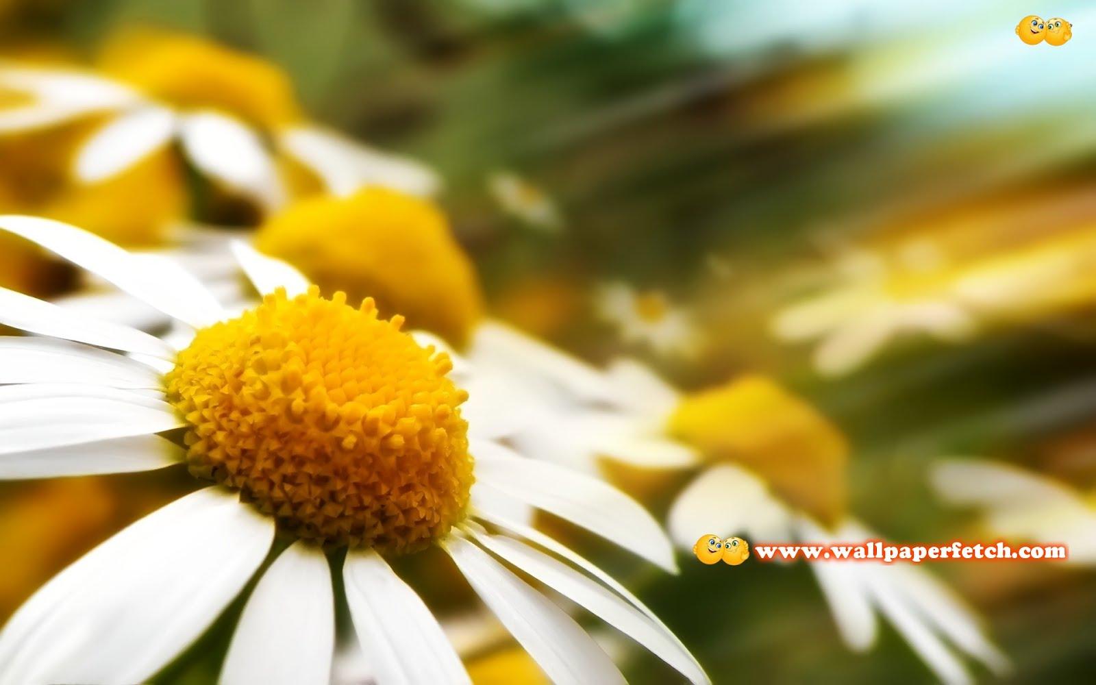 http://2.bp.blogspot.com/-l84Bmhm8ENA/T1FMwl0YC9I/AAAAAAAANSE/GkRqaQ-9mqY/s1600/chamomile-9428-1920x1200.jpg