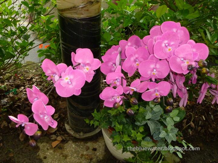 Phalaenopsis Blume