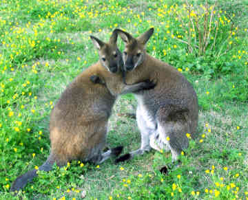 external image wallaby-0014.jpg