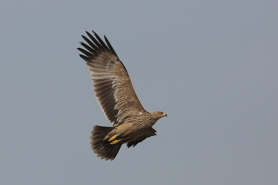 Eastern Imperial Eagle