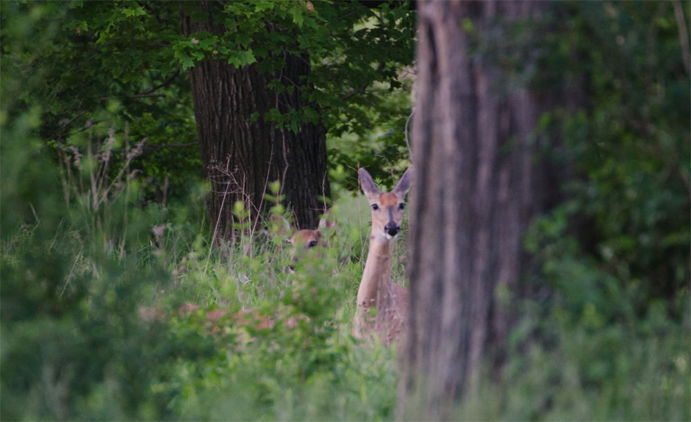 Doe and Yearling White-tailed Deer Concealed in the Forest.