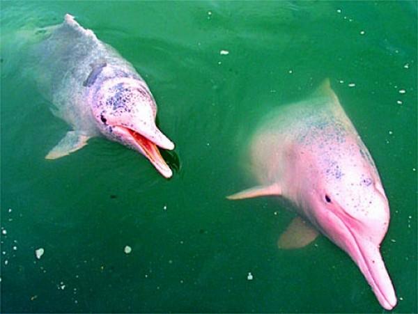 koleksi, gambar, imej, ikan lumba, warna merah jambu, dolphin,wujud, info, jenis, spesies, air tawar, habitat, sungai, amazon, usia, awal, kelabu, aktif, lompat, laut, musnah