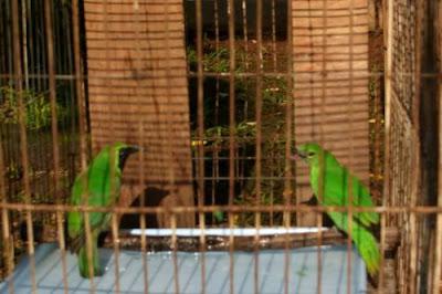 Banyak sekali penghobi burung yang berniat menangkarkan cucak ijo atau