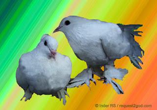 white pigeon pair