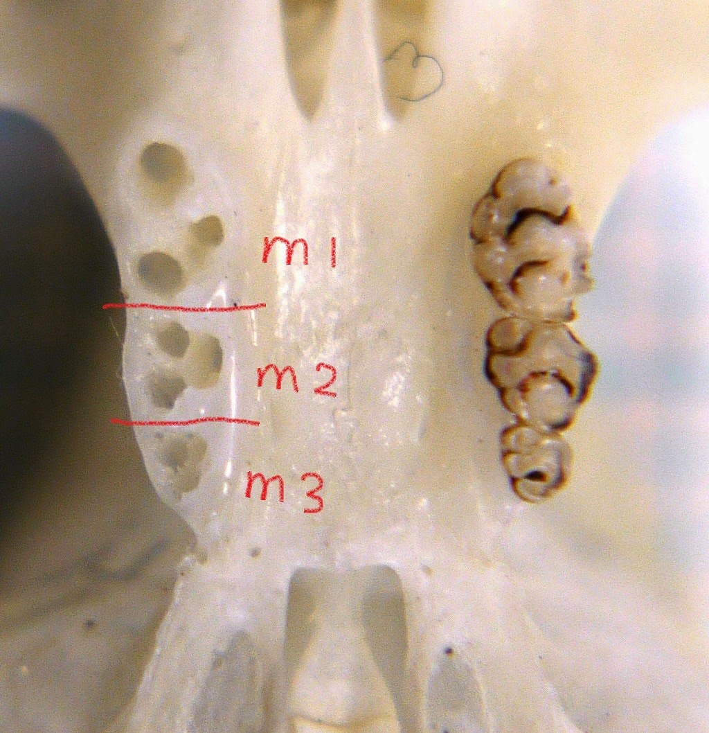 故有事: アカネズミの臼歯の歯根:上顎は3本、下顎は2本 About the number of  molar's root of Apodemus speciousus: maxila has three and mandible has two.