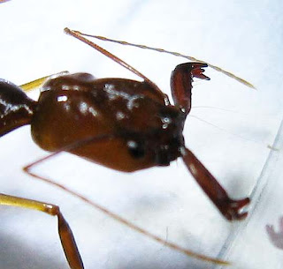 Odontomachus rixosus