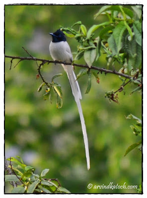 Asian Paradise Flycatcher, Male