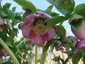 Pink Fillagree Hellebore