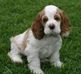 American Cocker Spaniel Puppies Picture