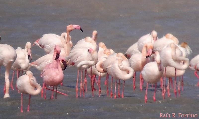 Grupo Local SEO-Sevilla de SEO/BirdLife. XIV Curso de Iniciación a la Ornitología 2014. Phoenicopterus-minor. Laguna Ballestera