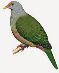 Rapa fruit dove