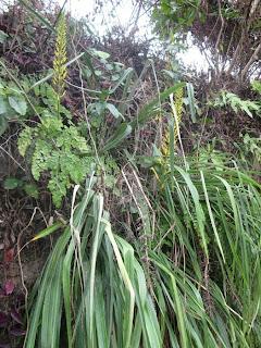 Pitcairnia xanthocalyx in habitat