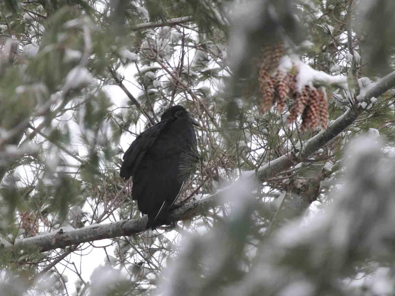 les oiseaux de la r gion de la pocati re qu bec janvier 2012 r le 3 chn #7
