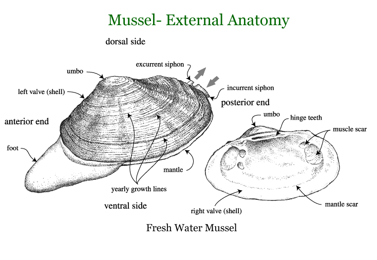 Biology of Animals & Plants - Mollusks