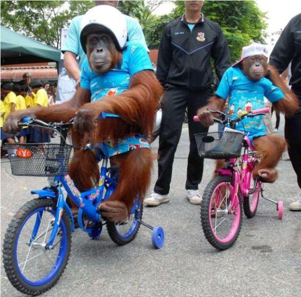 Funny Monkeys Riding Bikes