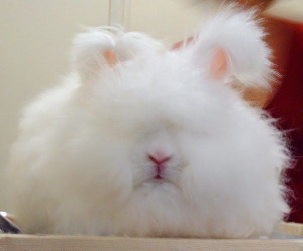 Picture of a Female English Angora rabbit