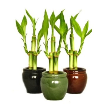 bamboo plant how to take care of it