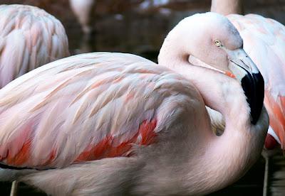 Chilean Flamingos at Zoo Atlanta