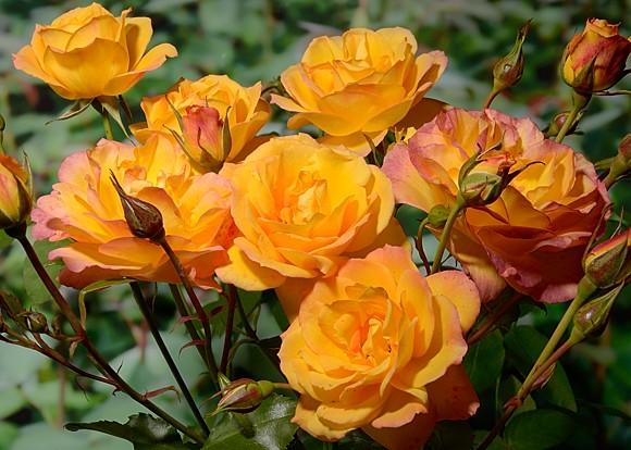 Sahara rose сорт розы фото