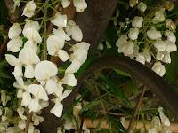 西参道の白い藤。