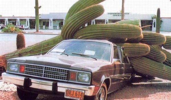 Cactus gigante caido sobre vehiculo