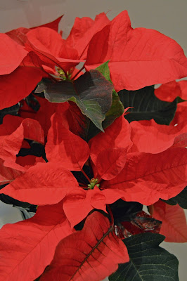 #christmascountdown pointsettia