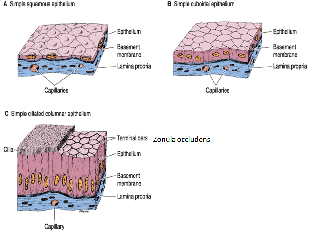 simple tissue First name of tissue indicates number of cell layers simple—one layer of cells stratified—more than one layer of cells last name of tissue describes shape of cells.
