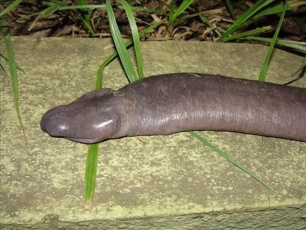 Atretochoana eiselti- anfibio-animales raros